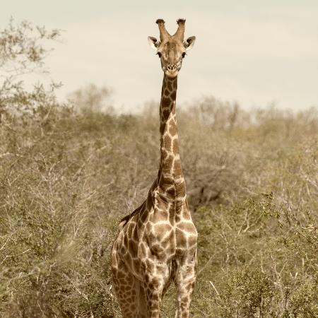 philippe-hugonnard-awesome-south-africa-collection-square-giraffe-portrait