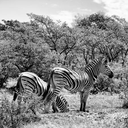 philippe-hugonnard-awesome-south-africa-collection-square-two-burchell-s-zebras-ii-b-w