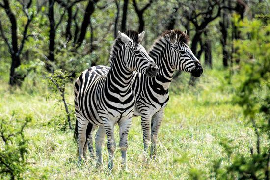 philippe-hugonnard-awesome-south-africa-collection-two-burchell-s-zebra-i