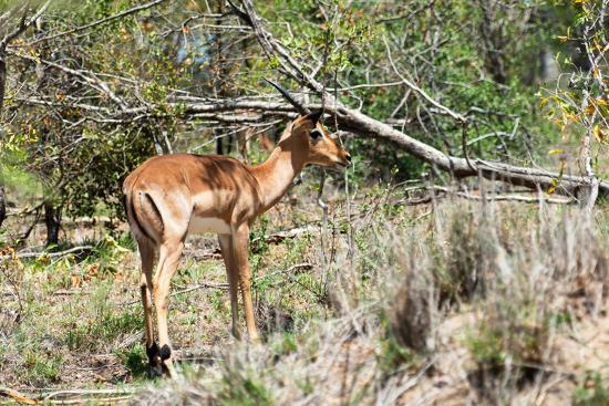 philippe-hugonnard-awesome-south-africa-collection-young-impala