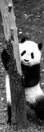 philippe-hugonnard-china-10mkm2-collection-giant-panda-baby
