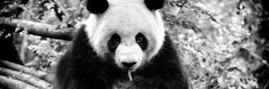 philippe-hugonnard-china-10mkm2-collection-giant-panda