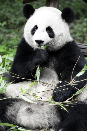 philippe-hugonnard-china-10mkm2-collection-giant-panda