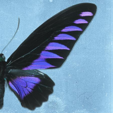 philippe-hugonnard-miss-butterfly-brookiana-sq-skyblue