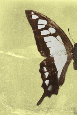 philippe-hugonnard-miss-butterfly-cloanthus-profil-yellow