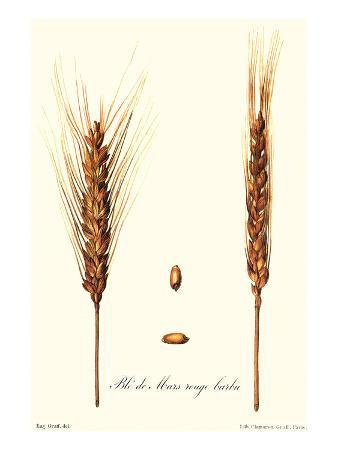 philippe-victoire-leveque-de-vilmorin-wheat