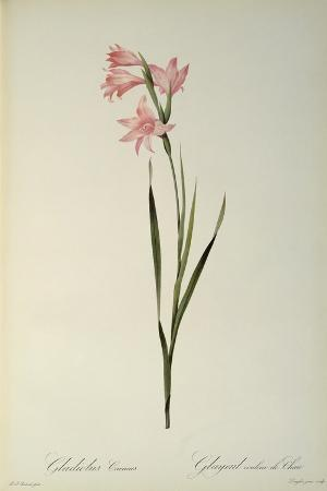 pierre-joseph-redoute-gladiolus-carneus-from-les-liliacees-1804