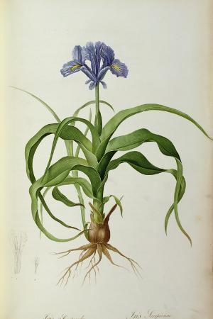 pierre-joseph-redoute-iris-scorpioides-from-les-liliacees-1805