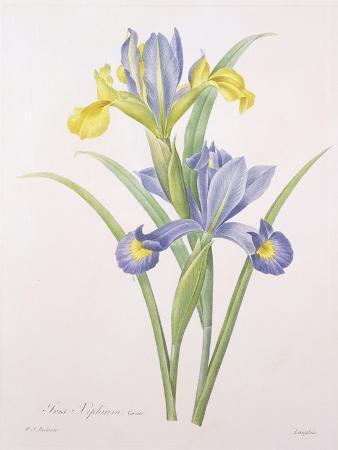 pierre-joseph-redoute-iris-xiphium-variety-engraved-by-langlois-from-choix-des-plus-belles-fleurs-1827