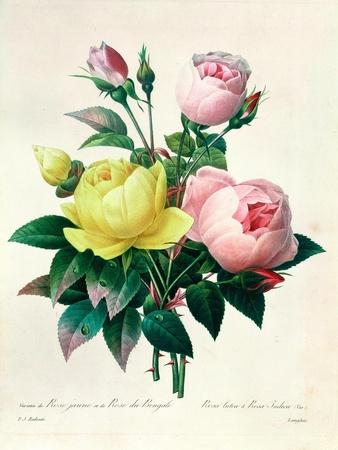 rosa lutea and rosa indica from les choix des plus belles fleurs 1827 giclee print by pierre. Black Bedroom Furniture Sets. Home Design Ideas