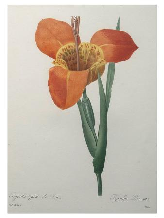 pierre-joseph-redoute-tiger-or-shell-flower