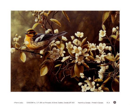 pierre-leduc-blackburnian-warbler