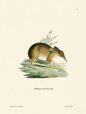 pig-footed-bandicoot