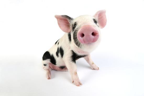 pig-kune-kune-cross-gloucester-old-spot-piglet