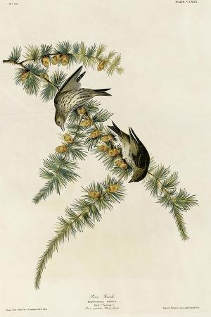 pine-finch