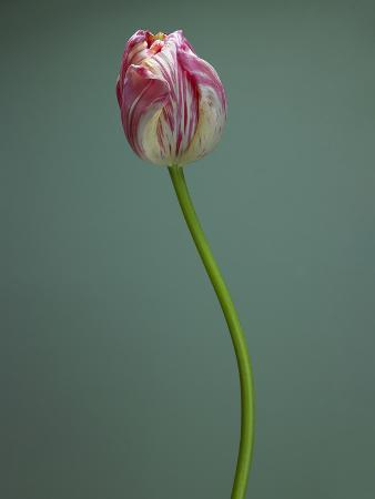 pink-and-white-tulip
