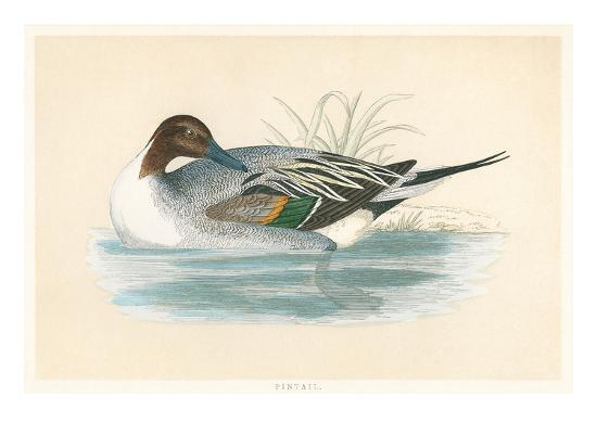 pintail-duck