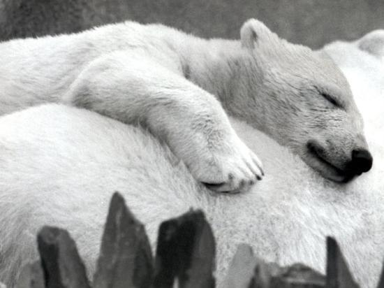 pipaluk-the-baby-polar-bear-sizzling-in-the-summer-hear