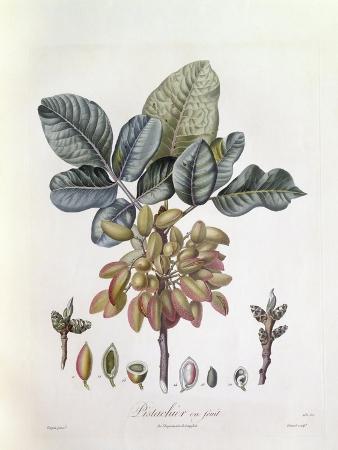pistachio-pistacia-vera