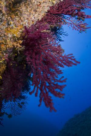 pitkin-gorgonian-coral-on-rock-face-covered-with-yellow-encrusting-anemones-sponges-and-corals-corsica