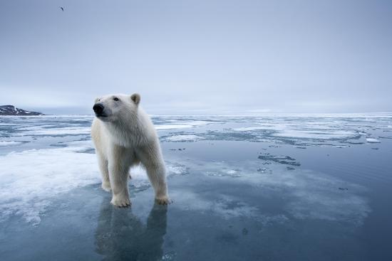 polar-bear-on-melting-ice