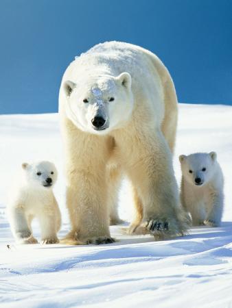 polar-bear-parent-with-cubs