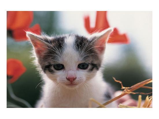 poppy-kitten