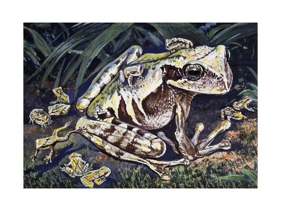 pouched-frog-gastrotheca-ovifera-hemiphractidae-drawing
