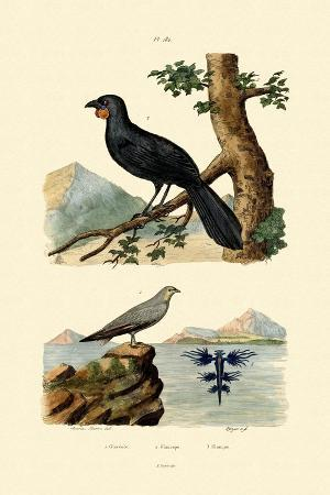 pratincole-1833-39