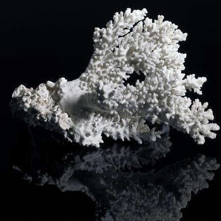 prill-white-coral
