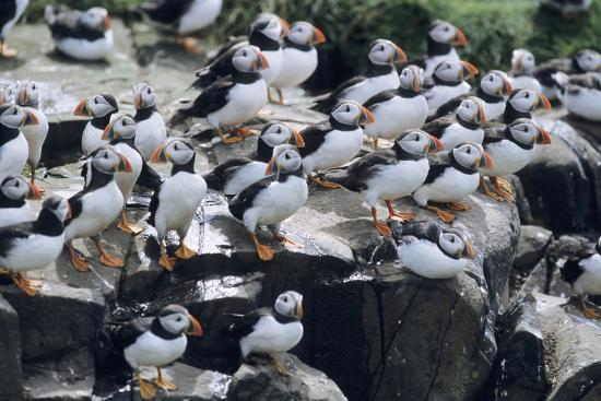 puffin-birds-resting-on-cliff-top
