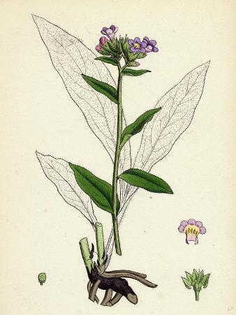 pulmonaria-angustifolia-narrow-leaved-lungwort