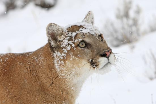 puma-in-snow