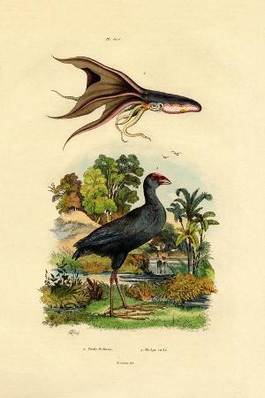 purple-swamphen-1833-39