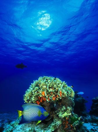 queen-angelfish-and-blue-chromis-with-black-durgon-in-the-sea