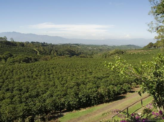 r-h-productions-coffee-plantations-on-the-slopes-of-the-poas-volcano-near-san-jose-costa-rica-central-america