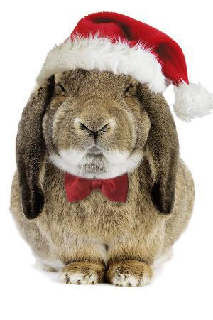 rabbit-belier-francais-breed-wearing-christmas