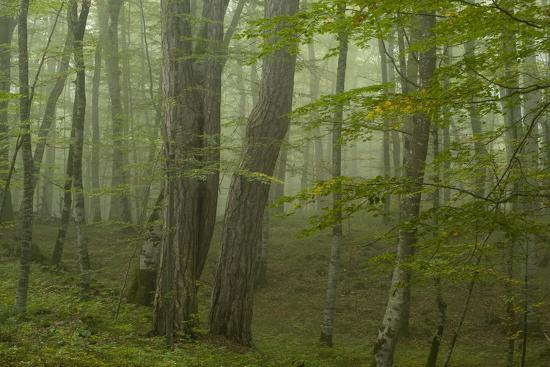 radisics-forest-with-beech-trees-and-black-pines-in-mist-crna-poda-nr-tara-canyon-durmitor-np-montenegro