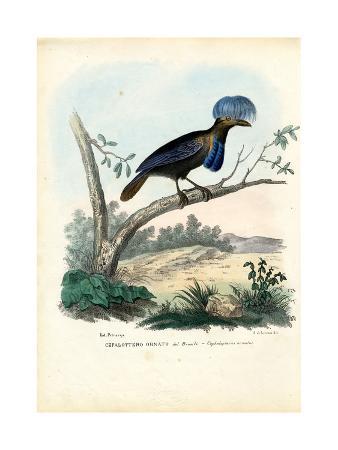 raimundo-petraroja-amazonian-umbrellabird-1863-79