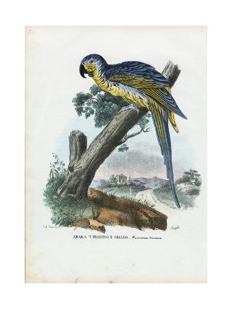 raimundo-petraroja-blue-and-yellow-macaw-1863-79