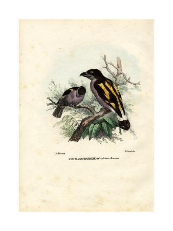 raimundo-petraroja-broadbills-1863-79
