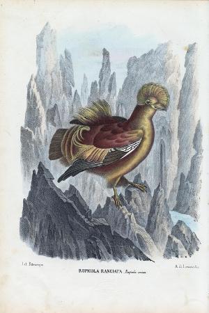 raimundo-petraroja-cock-of-the-rock-1863-79