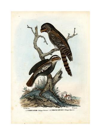 raimundo-petraroja-papuan-frogmouth-1863-79