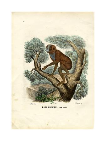 raimundo-petraroja-slender-lori-1863-79