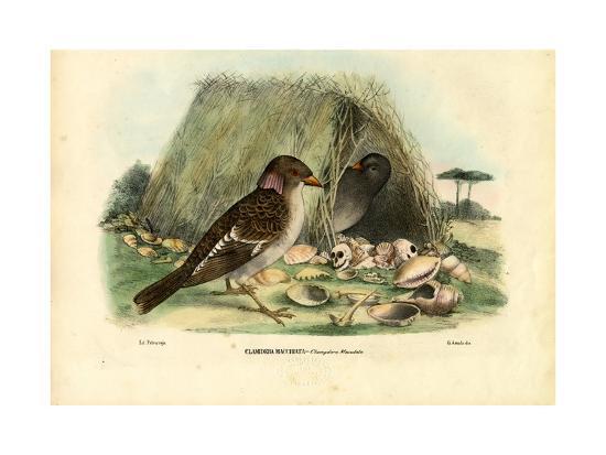 raimundo-petraroja-spotted-bowerbird-1863-79