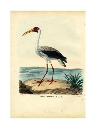 raimundo-petraroja-yellow-billed-stork-1863-79