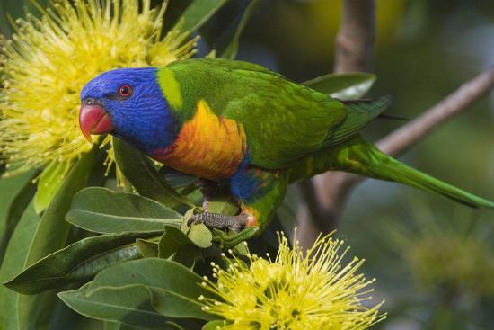 rainbow-lorikeet-feeding