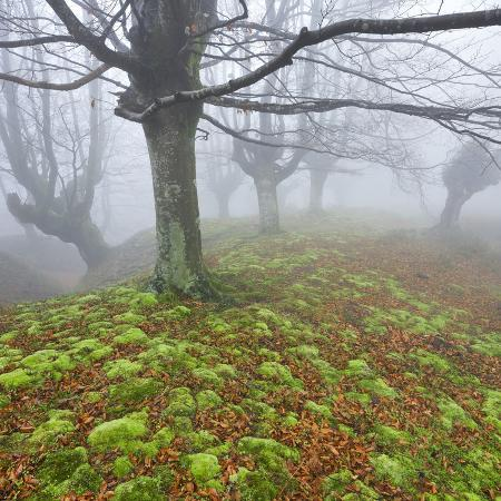 rainer-mirau-beech-forest-in-the-gorbea-nature-reserve-fog-moss-basque-country-spain