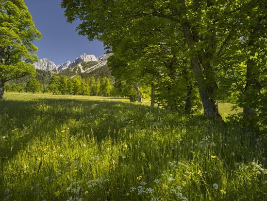 rainer-mirau-ramsau-dachstein-sycamore-maple-flower-meadow-styria-austria