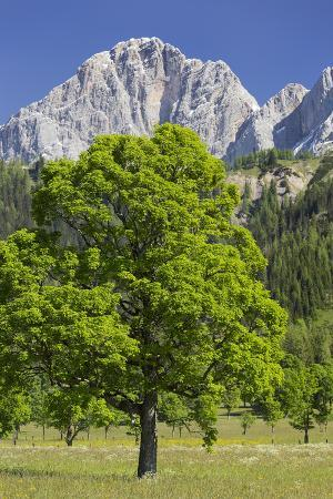 rainer-mirau-sycamore-maple-dachstein-ennstal-styria-austria
